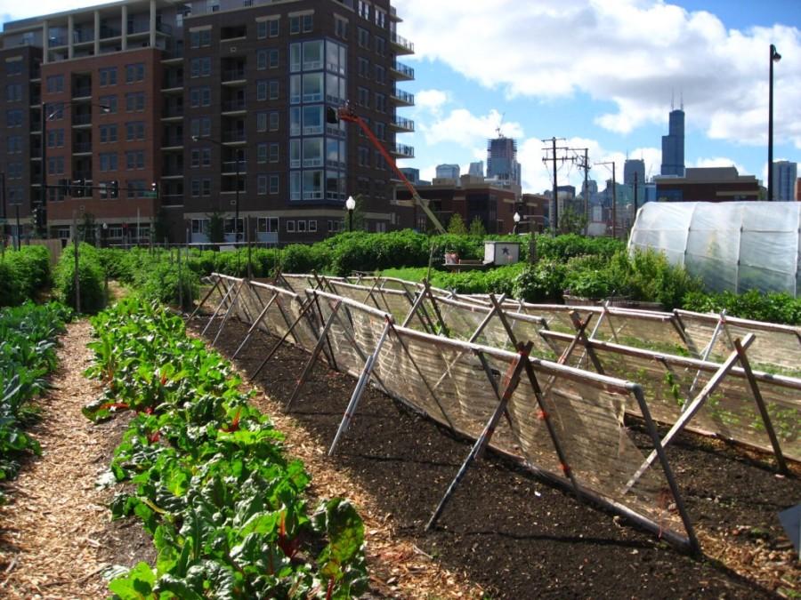 New_crops-Chicago_urban_farm-1024x768